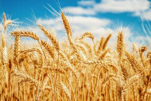 golden-wheat-against-blue-sky