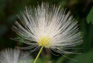 mimosa-tree