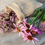 New Study: Echinacea as Effective as Tamiflu