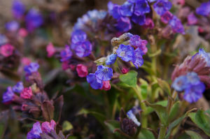 Lungwort is a plant with lung cleansing benefits for minor irrtants such as coughs, congestion, and bronchial detoxification.