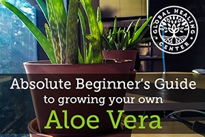 Absolute beginner s guide to growing your own aloe vera - Aloe vera plant care tips beginners guide ...