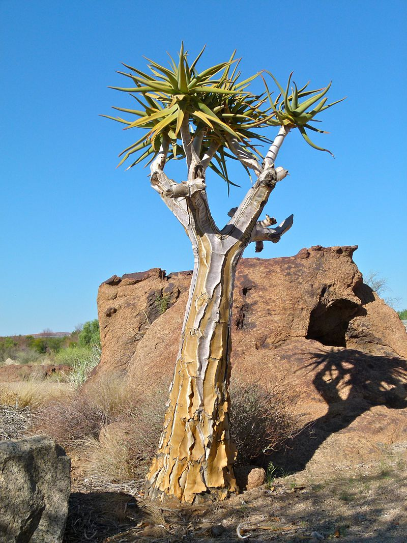 The Aloe Dichotoma, also called the Quiver Tree, provides a tremendous amount of environmental support for plants and animals within its immediate environment.