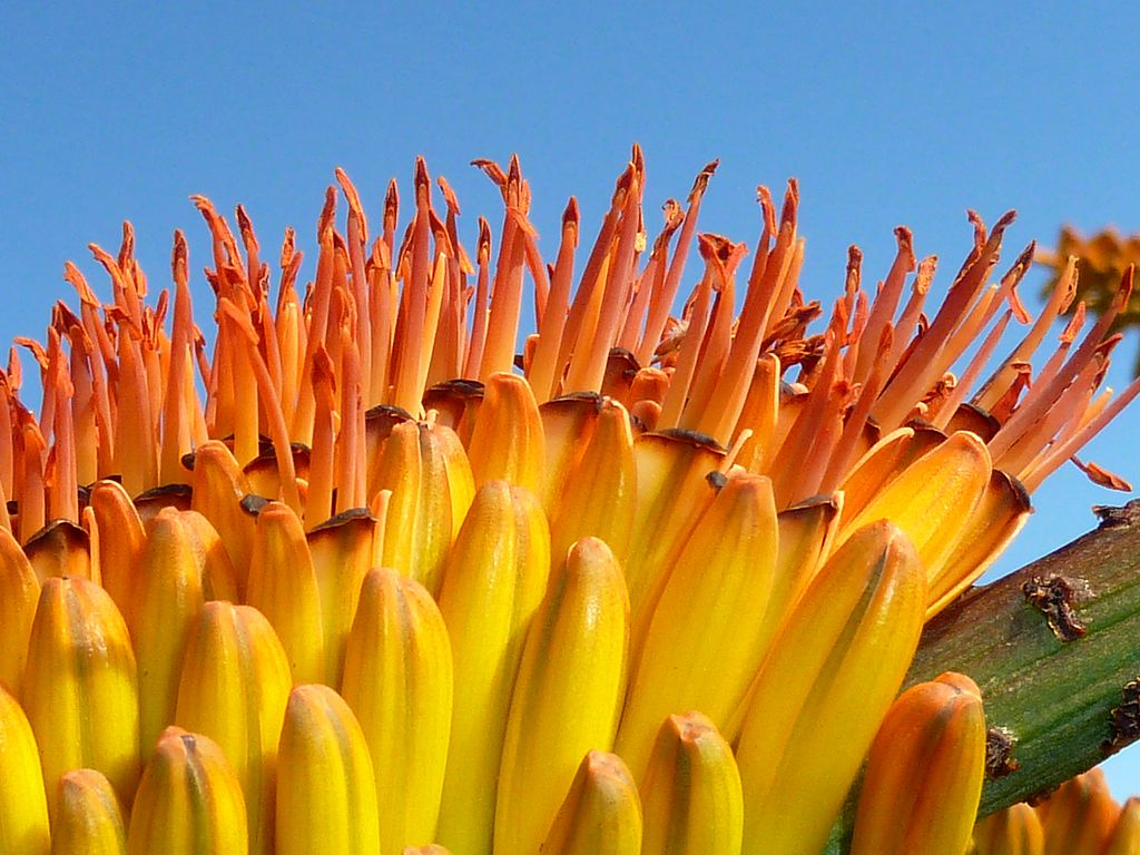 Aloe Marlothii plants like these are not only beautiful but can be used to help keep skin moisturized.