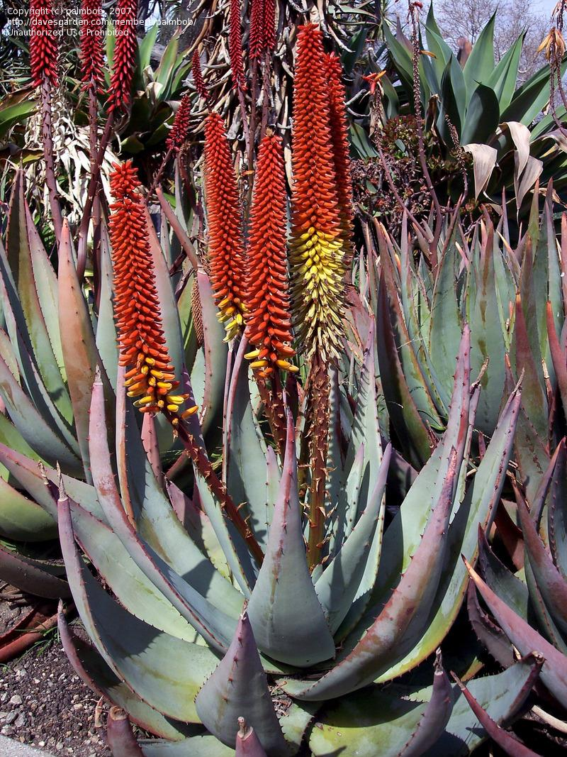 Aloe Petricola plants like these have been used to treat the skin where minor wounds and burns have occurred.