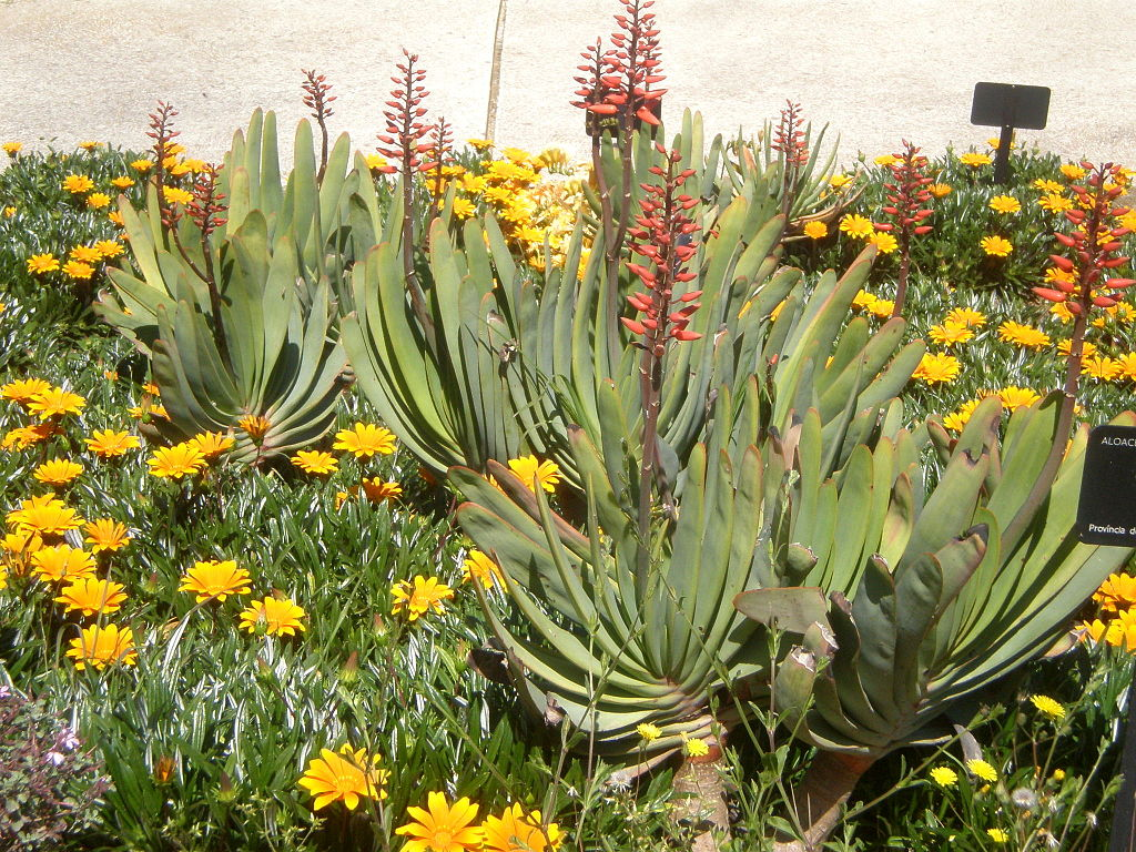 Aloe Plicatilis like shown here feature beautiful fan-like leaves and stunning, colorful clusters of flowers.