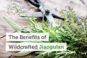 The jiaogulan herb is becoming increasingly well-known for supporting natural energy production and providing several additional wellness benefits.