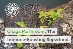 A Chaga mushroom on a birch tree. This amazing superfood is known to help support the immune system and fight free radicals.
