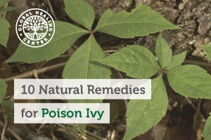 Poison ivy on a tree branch. Baking soda baths, aloe vera, and oatmeal paste are great natural remedies for poison Ivy.