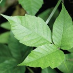 10 Natural Remedies for Poison Ivy