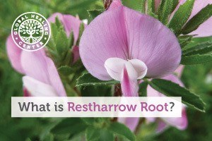 A full grown Restharrow Root. This herb has been used by cultures all over the world for different healing benefits.