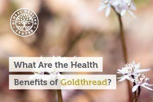 Goldthread flowers. Goldthread is a perennial herb that has been used for centuries for its health benefits.