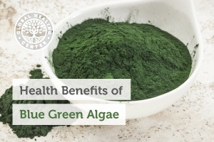 A bowl of blue green algae in a powder form. Organic blue-green algae is one of the most nutrient dense foods on the planet.