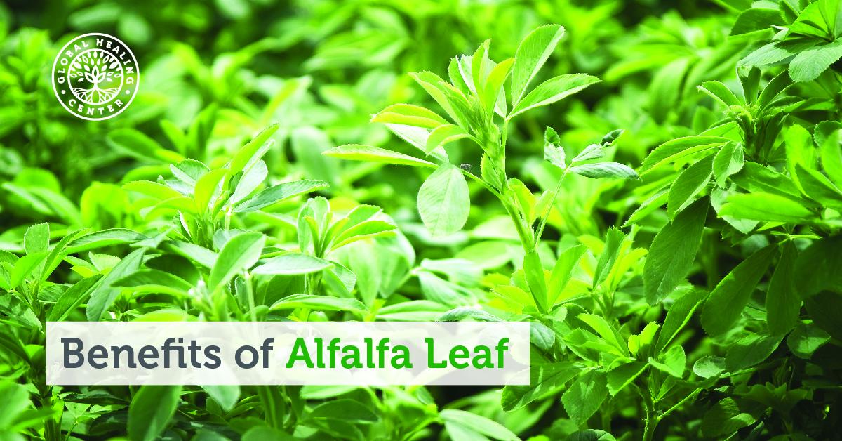 Benefits Of Alfalfa Leaf