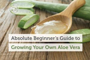 A spoon of aloe vera. Growing your own aloe vera is better than buying it at the store.