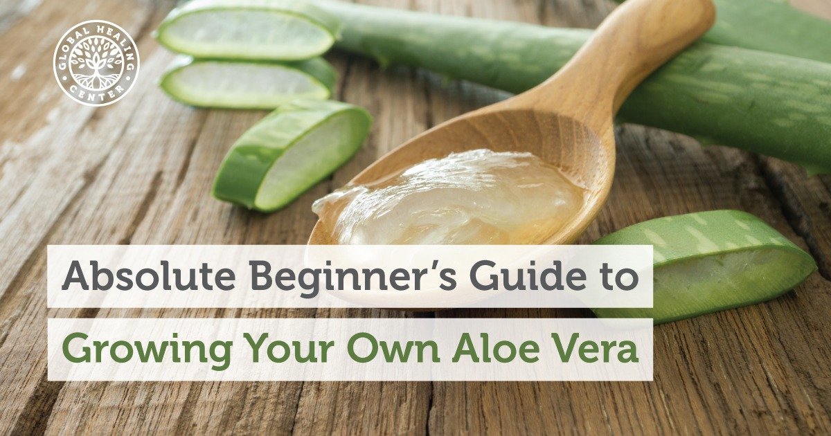 Absolute Beginners Guide To Growing Your Own Aloe Vera