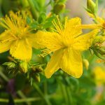 St. John's Wort Benefits: Natural Support for Mental Wellness