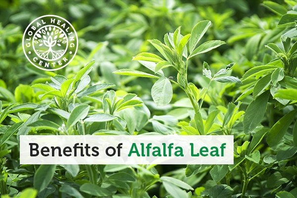 An alfalfa leaf. This amazing leaf contains essential vitamins including the entire spectrum of B-vitamins, A, D, E, and K.