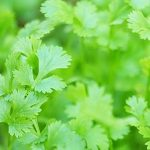 The Health Benefits of Cilantro