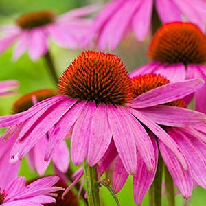 10 Impressive Echinacea Benefits to Support Your Health