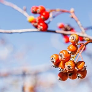 Hawthorn Berry Benefits: The Ultimate Heart Supporting Herb