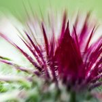 7 Milk Thistle Uses to Improve Your Health