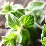 10 Uses for Organic Oregano Oil