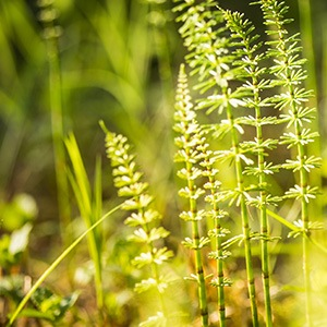 What Is Horsetail? Discover Its Benefits and Uses
