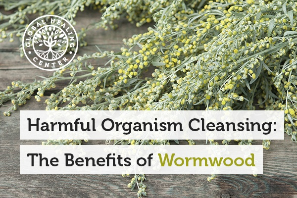 A wormwood plant. A benefit of wormwood is that it produces an environment that is toxic to harmful organisms.