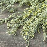 The Benefits of Wormwood: A Harmful Organism Cleanser