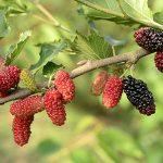 6 Health Benefits of Mulberries