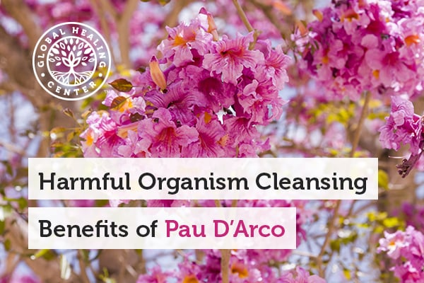 Pau Darco has compounds that help fight against the harmful organisms.