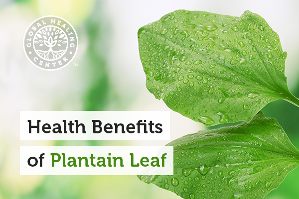 Plantain leaf helps fight against harmful organisms.