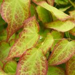 6 Big Health Benefits of Epimedium for Women