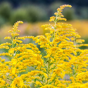 4 Must-Know Facts About Goldenrod and Kidney Health