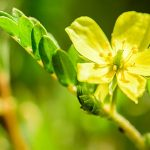4 Benefits of Tribulus terrestris for Women
