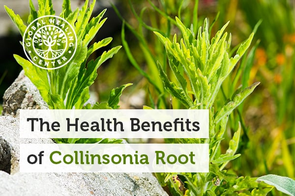 Collinsonia root can help support digestion and mental health.