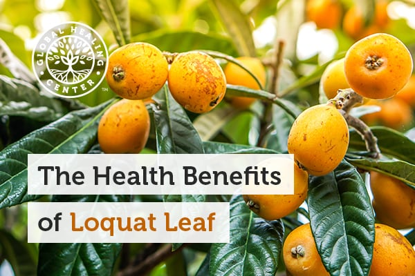 The loquat leaf helps promote normal blood sugar and liver support.