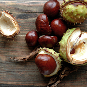 Several horse chestnuts. Horse chestnut seeds and leaves are a natural remedy for varicose veins.