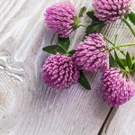 Red Clover Benefits for Menopause, Bone Health, & More