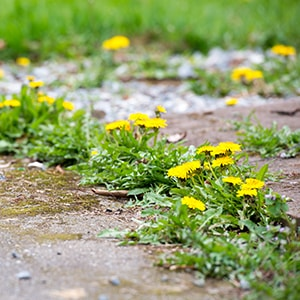 Natural Weed Killer: Get Rid of Weeds the Natural Way