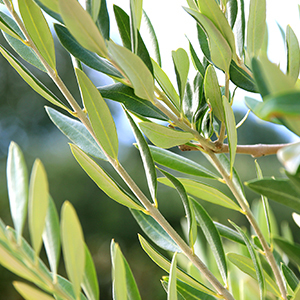 Green olive leaves in its natural setting.